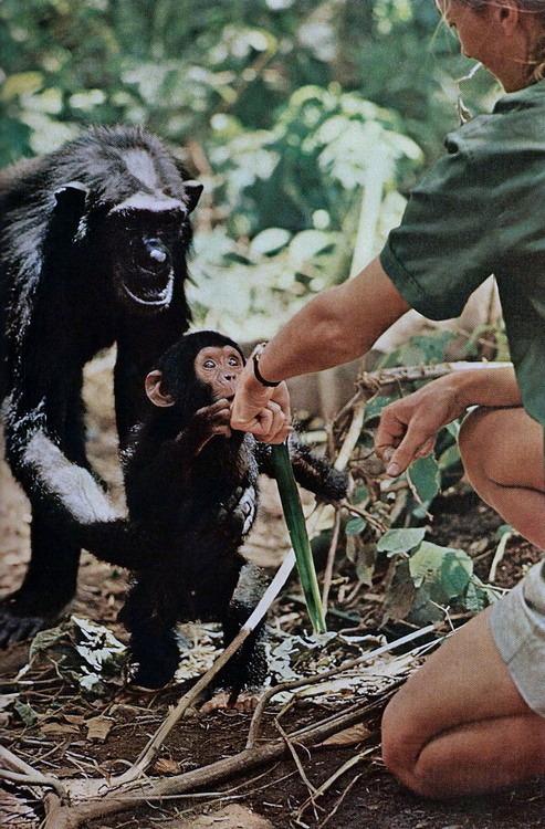 1965. Anyja engedi a kis csimpánzt, hogy kapcsolatot létesíthessen Jane Goodall kutatónővel egy tanzániai vadasparkban..jpg