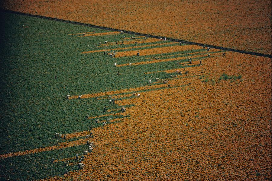 1967. Körömvirág szüret. Los Mochis, Mexiko.jpg