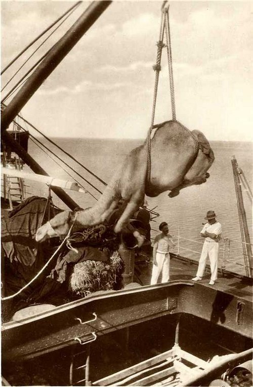 1920. Egy teve hajóra rakodása daruval a jemeni Aden kikötőjében..jpg