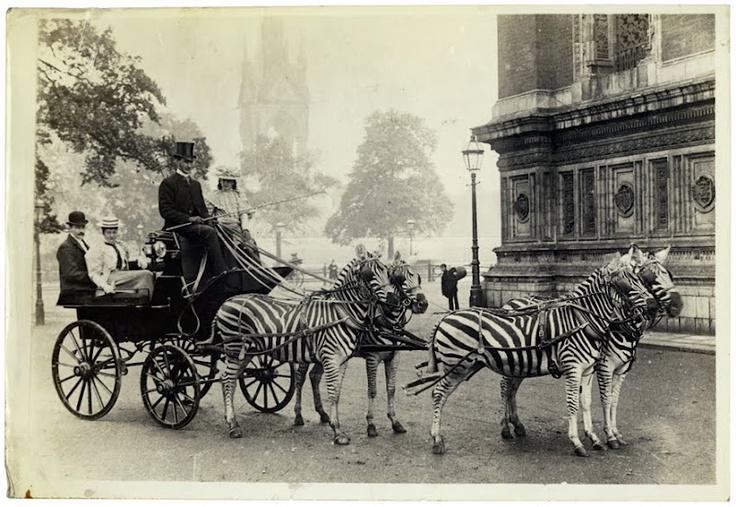1910 körül. Lionel Walter Rothschild háziasított zebráival húzott kocsin hajt át London belvárosán..jpg