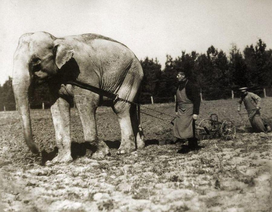 1905 körül. Állatkerti elefánt, mint mezőgazdasági munkás..jpg