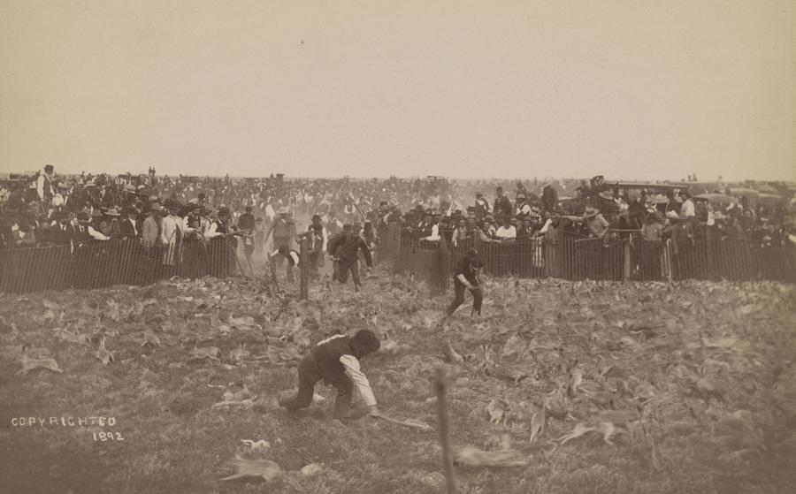 1892. A kaliforniai Negyedik Nyúl-ellenes Kampányban a földeken pusztító, karámba összeterelt vadnyulakat verik agyon..jpg