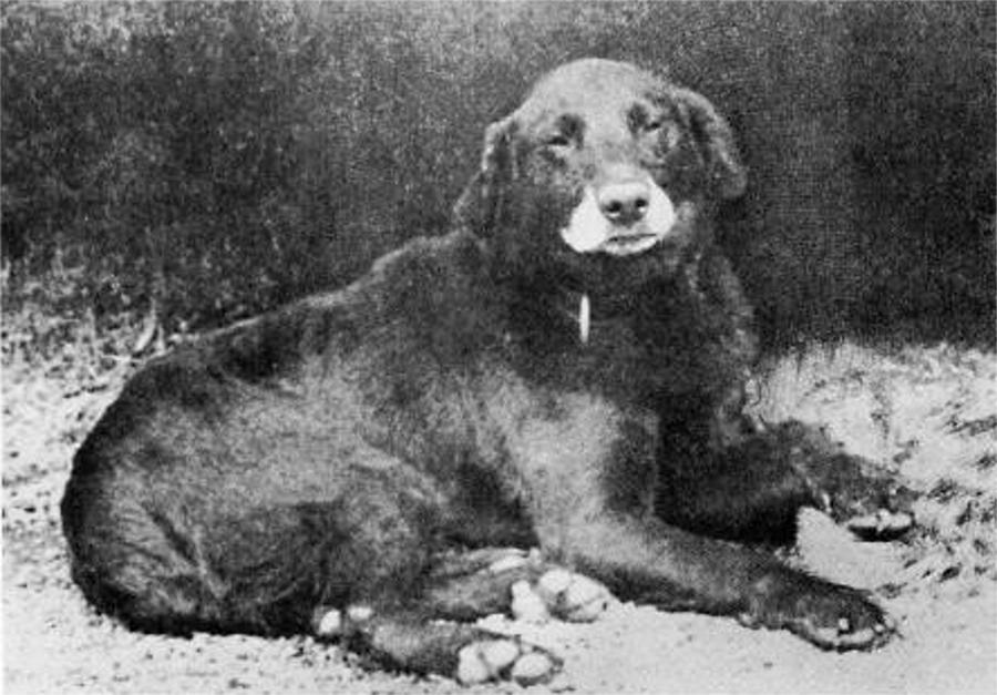 1885_buccleuch_avon_minden_labradorok_ose.jpg