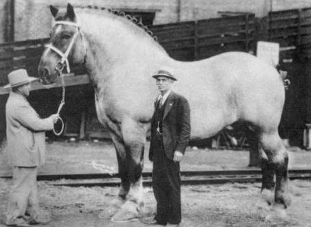 1940. Brookie a világ legnagyobb lova. A magasságát nem tudom, de a súlya 1550 kg volt..jpg