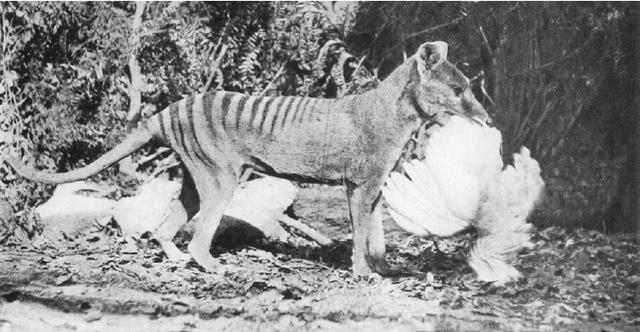 Thylacine-chicken_large_verge_medium_landscape.png
