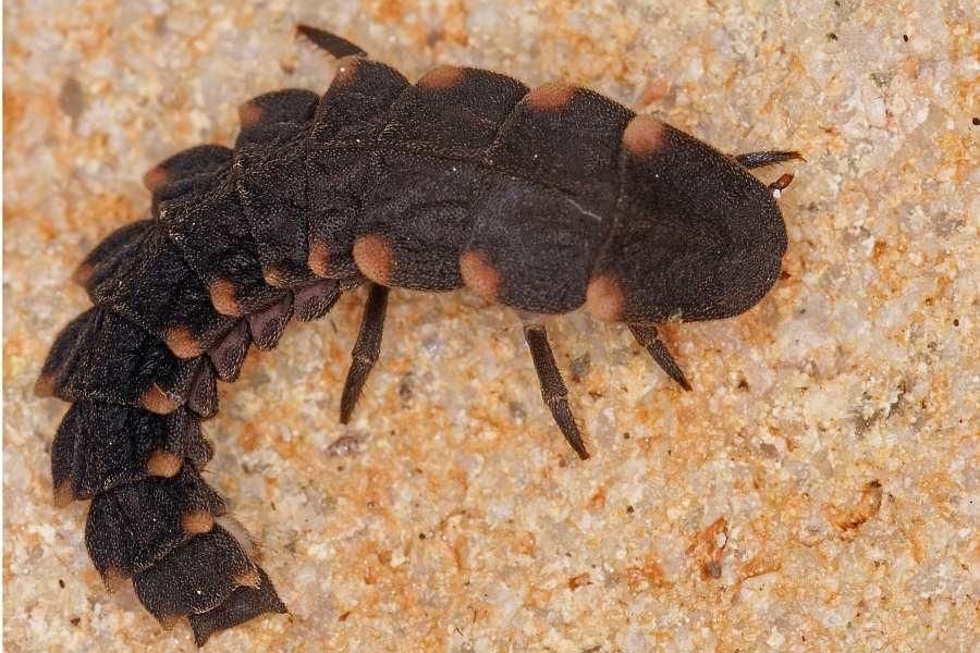 larva8.jpg