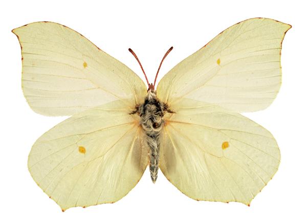 4 Gonepteryx rhamni rhamni nőstény(Magyarország) Ronkay Gábor felvétele_web.jpg