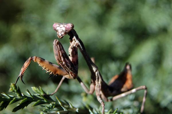 Parasphendale affinis_web.jpg