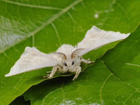 fabio-pupin-silk-moth-adult-male-bombyx-mori.jpg