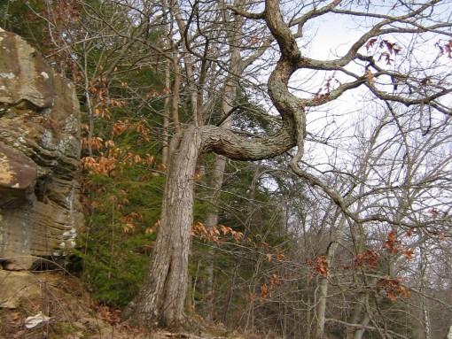 qTurkey_Run_Twisted_Tree.jpg