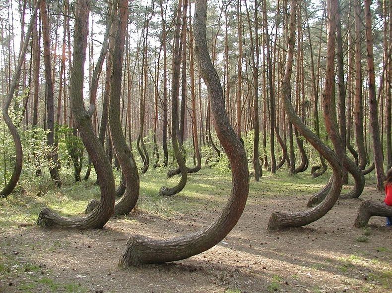 crooked-forest-6[2].jpg