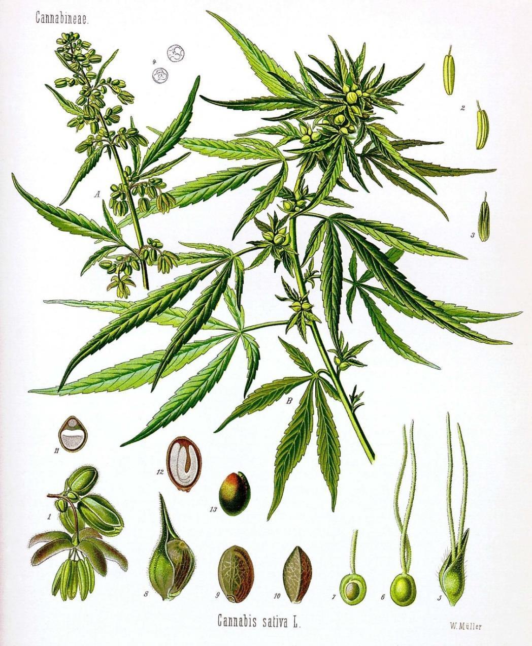 cannabis_sativa_katona_istvan_eloadas.jpg