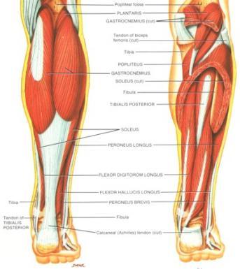 calf-muscles1-343x385.jpg