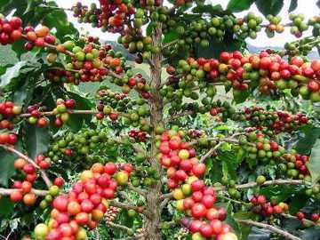 coffea_arabica.jpg