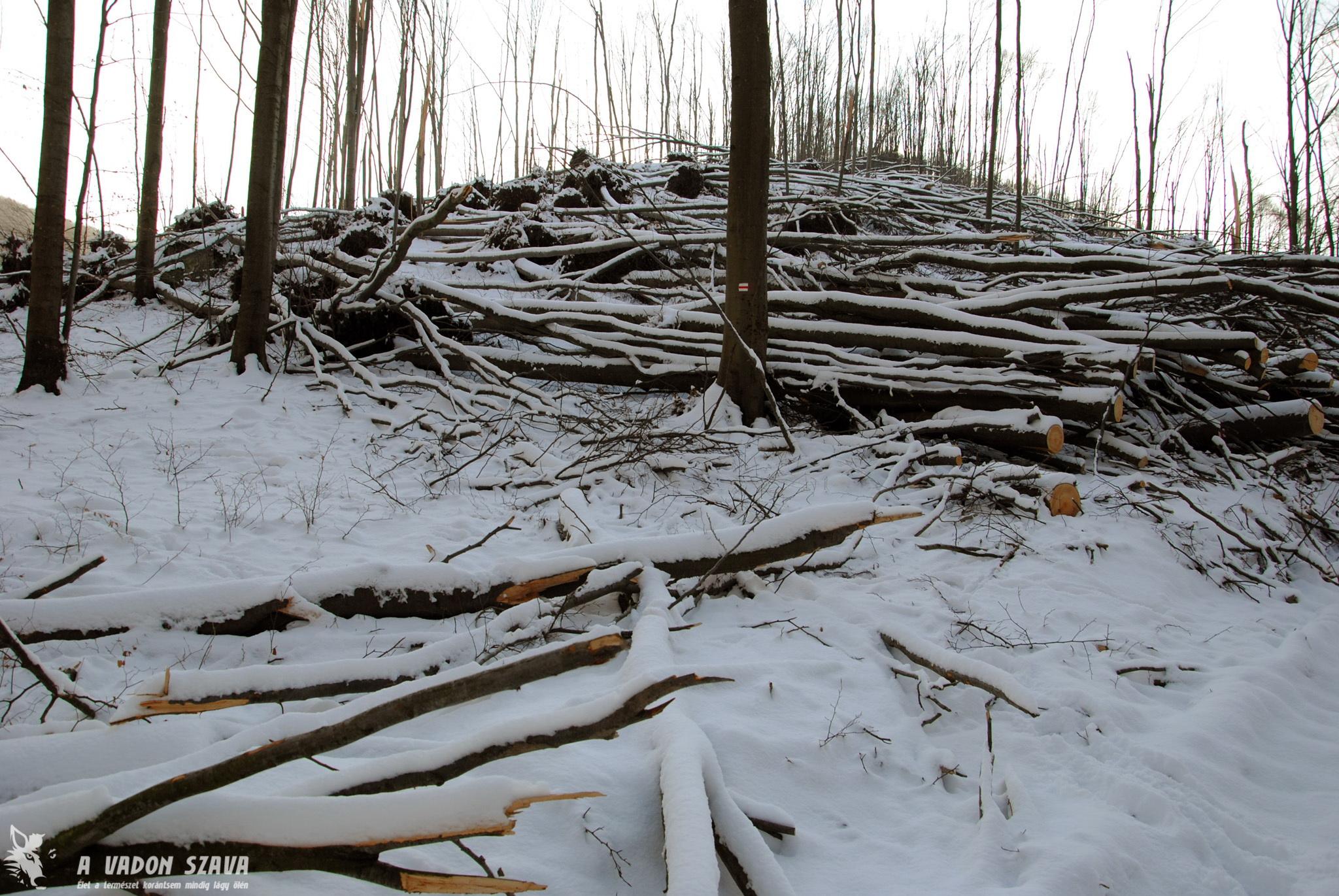 Királyházától eltávolodva rengeteg a kidőlt fa. A turistaút ezen a szakaszon már járhatóvá lett téve, de számos helyen szinte áthatolhatatlan az erdő.