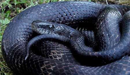 Fekete patkánykígyó