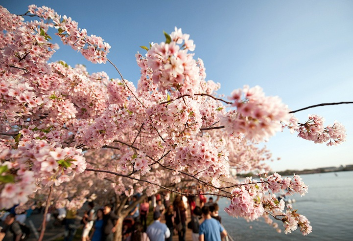 NavidBaraty_Cherry_Blossom_Festival5.jpg