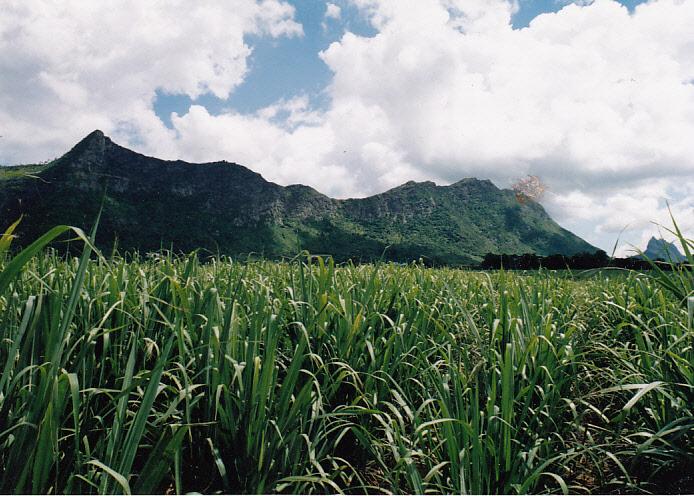 Cukornád ültetvény.jpg