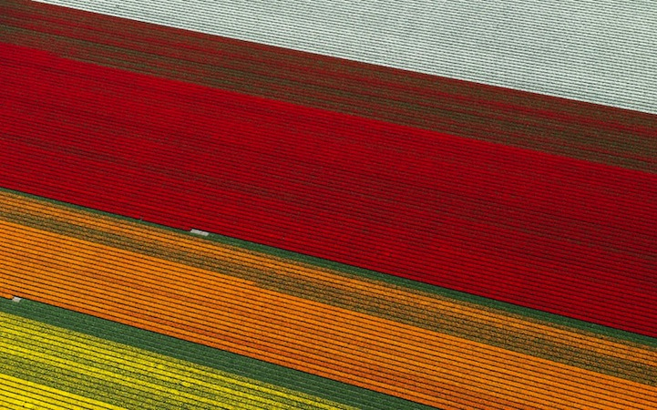 Tulipán mezők3.jpeg