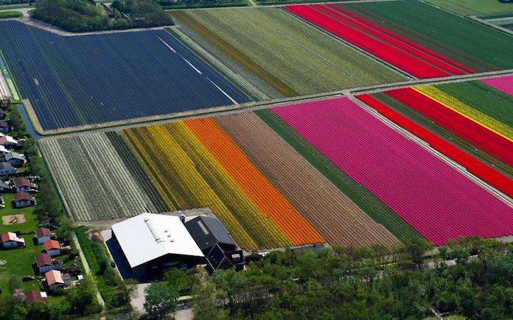 Tulipán mezők4.jpeg