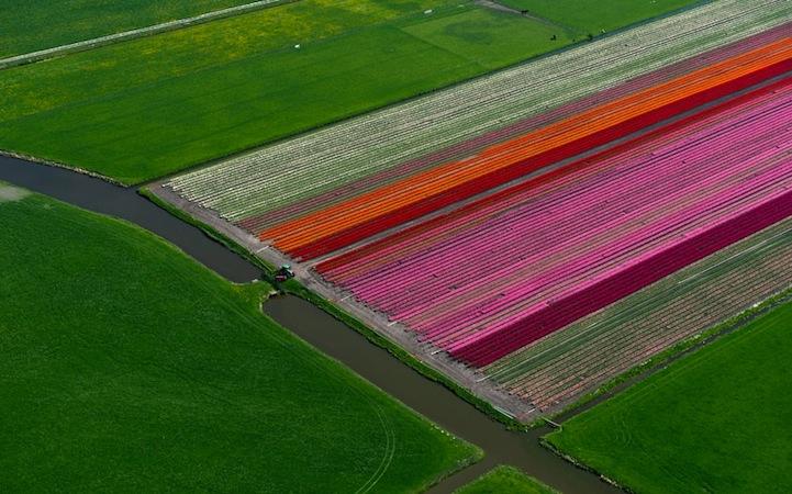 Tulipán mezők6.jpeg