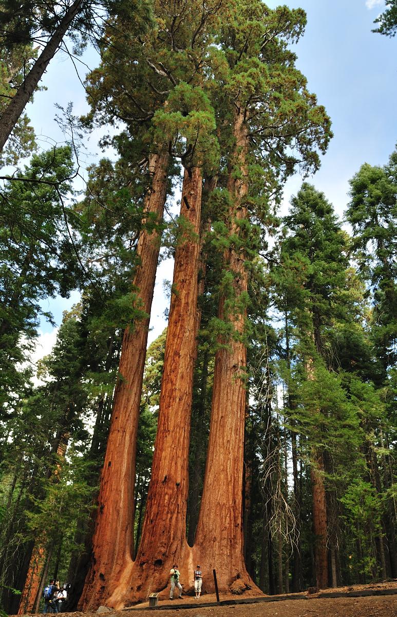 Giant Sequoia National Park.JPG