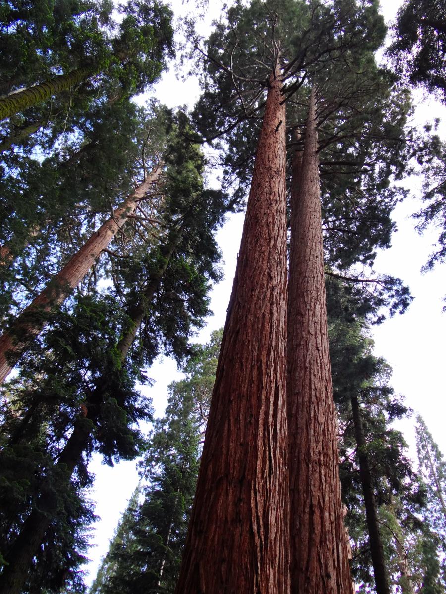 Giant Sequoia National Park3.JPG