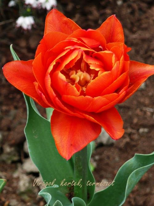 tulip_blog01_14.JPG