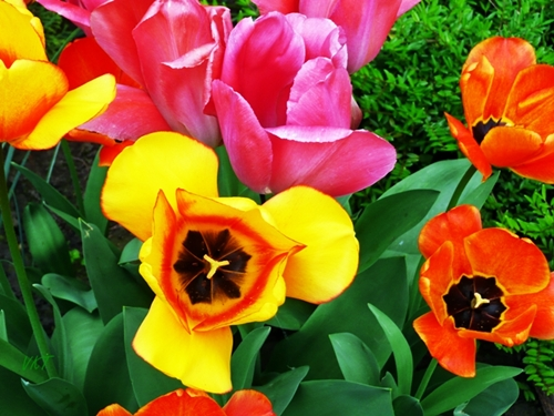 tulipan_blog01.JPG