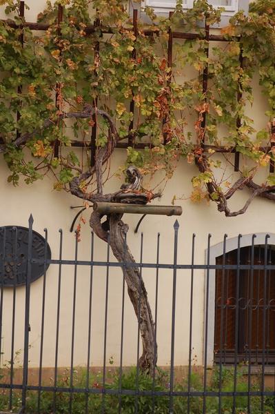 Európa legrégibb szőlőtőkéje