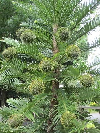 Wollemi Pine 1.JPG