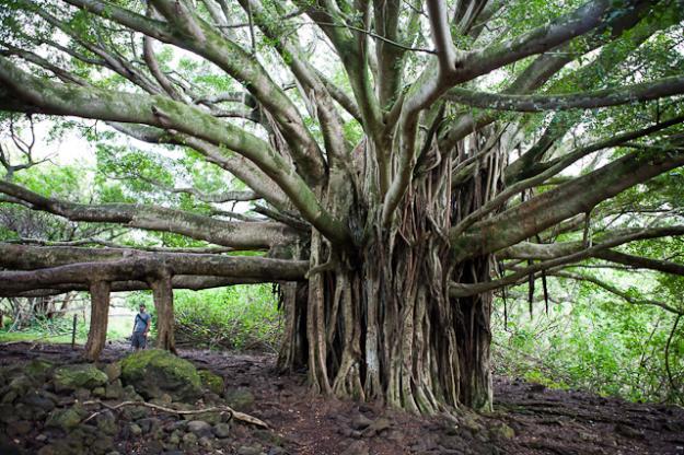banyan-oheo625x416.jpg