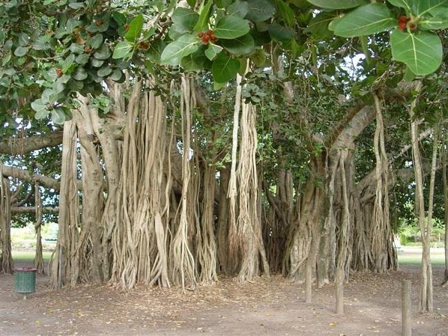 banyan_tree.jpg