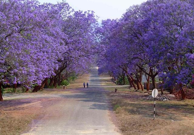 tree-jacaranda3.jpg