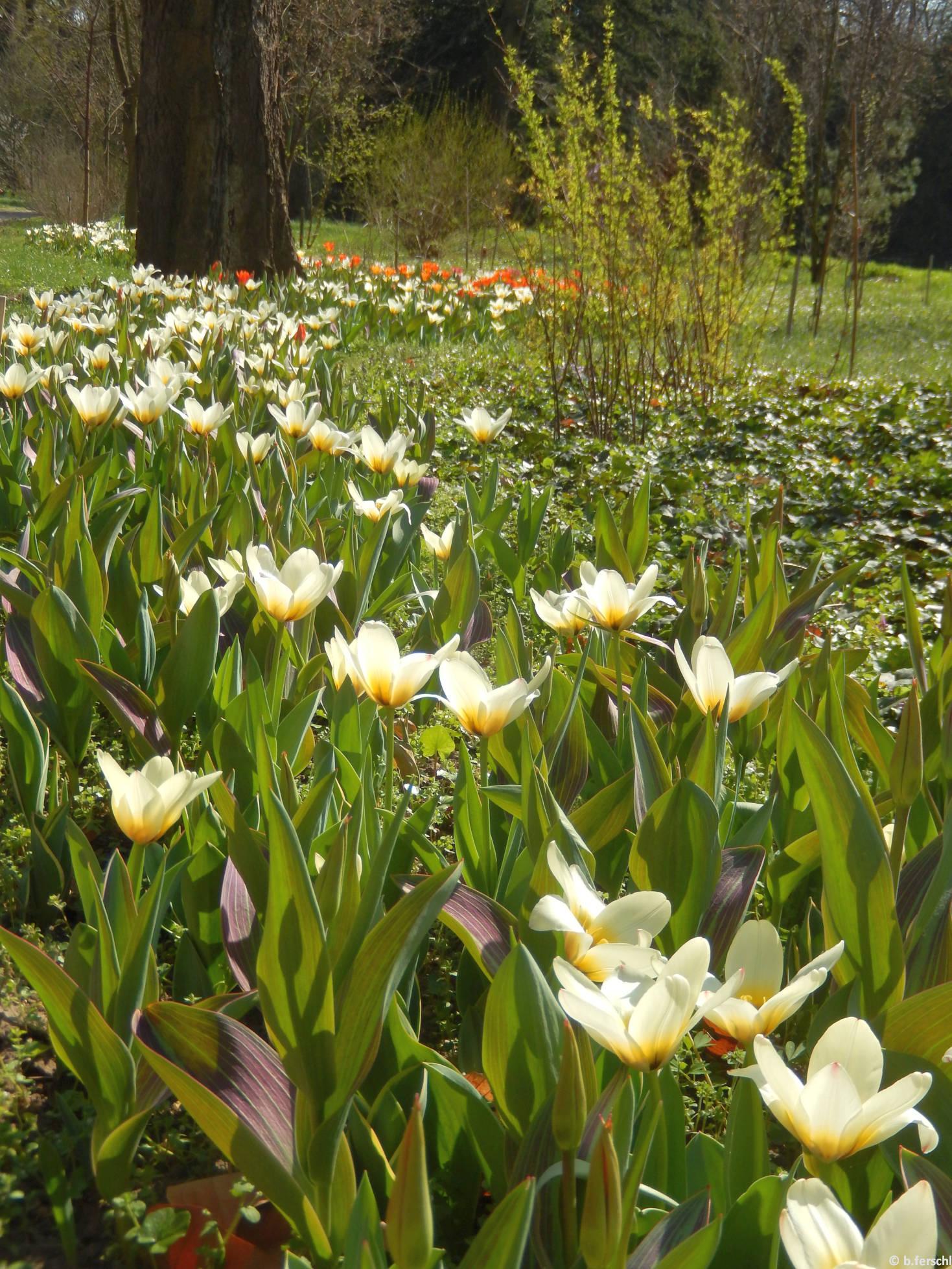 Tulipa fosteriana hibrid