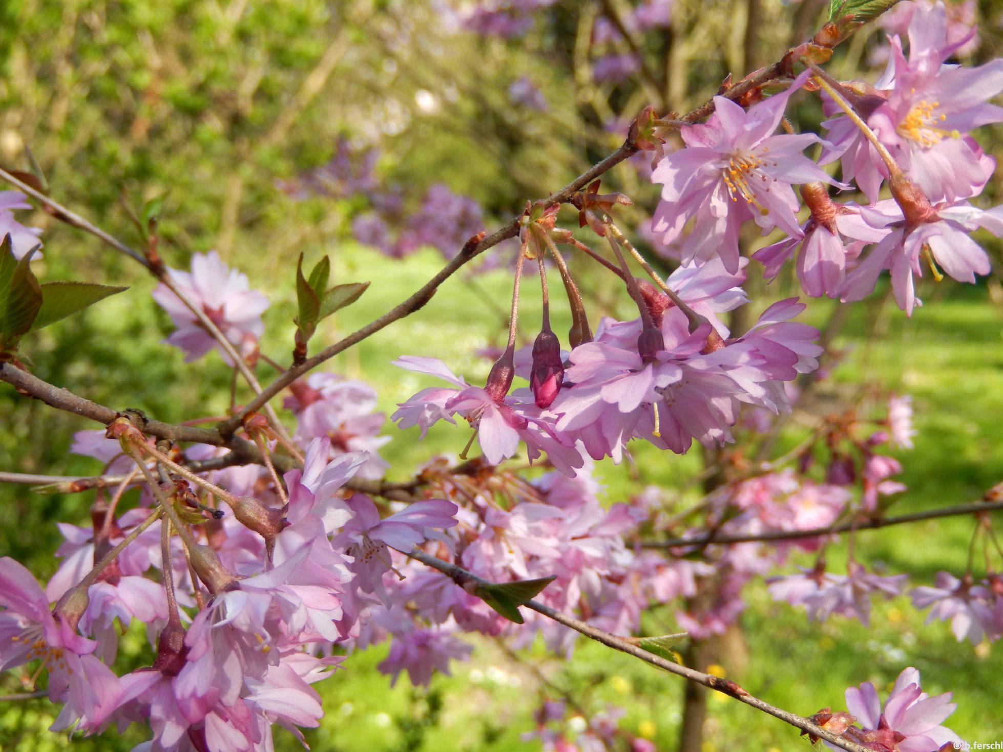 Prunus subhirtella 'Fukubana' - díszcseresznye