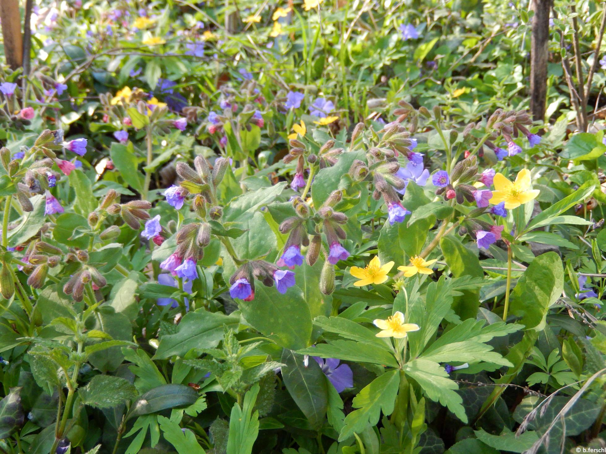 Bogláros szellőrózsa (Anemone ranunculoides), orvosi tüdőfű (Pulmonaria officinalis) és kis meténg (Vinca minor)