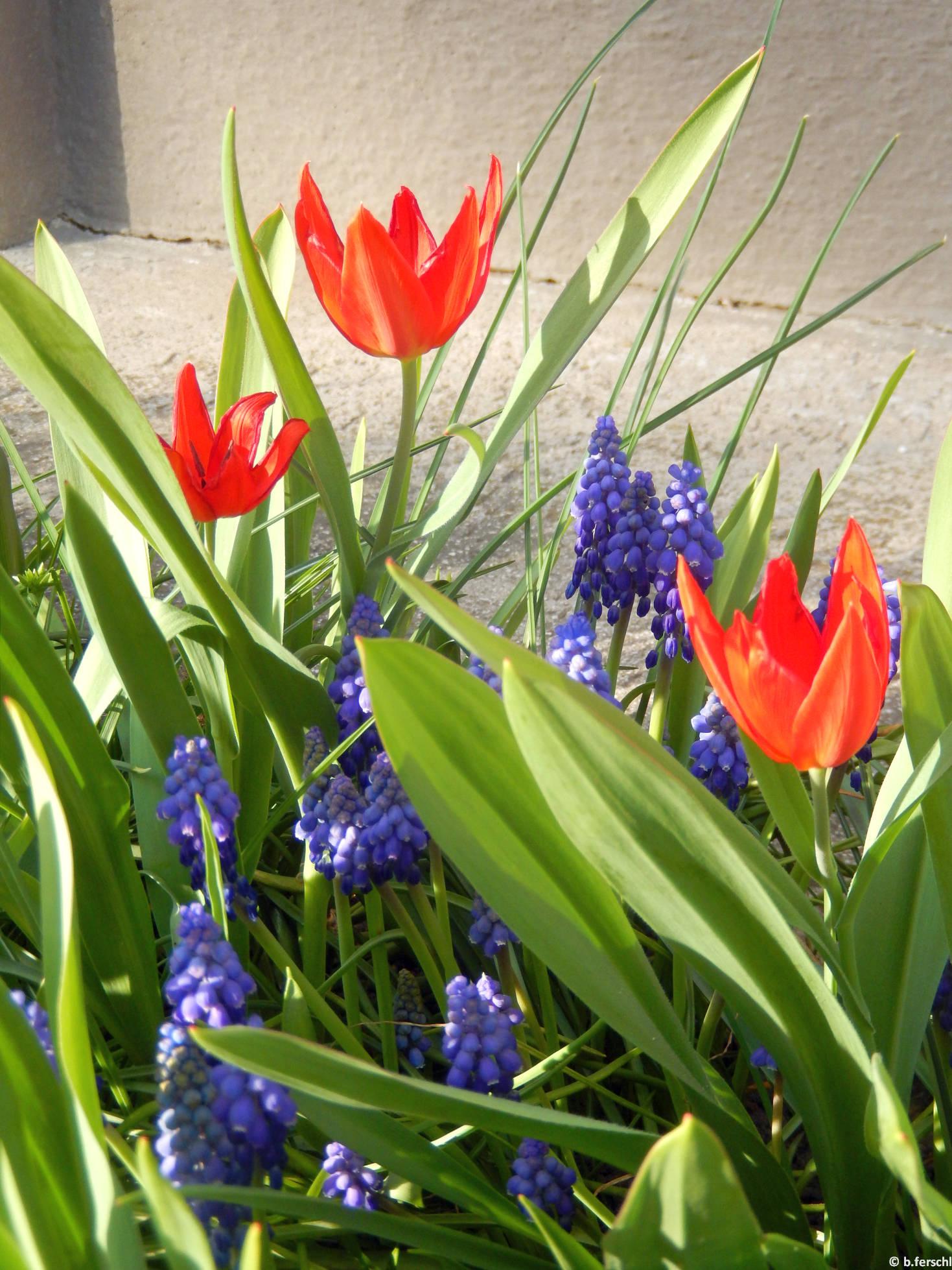 Hisszári tulipán gyöngyikékkel