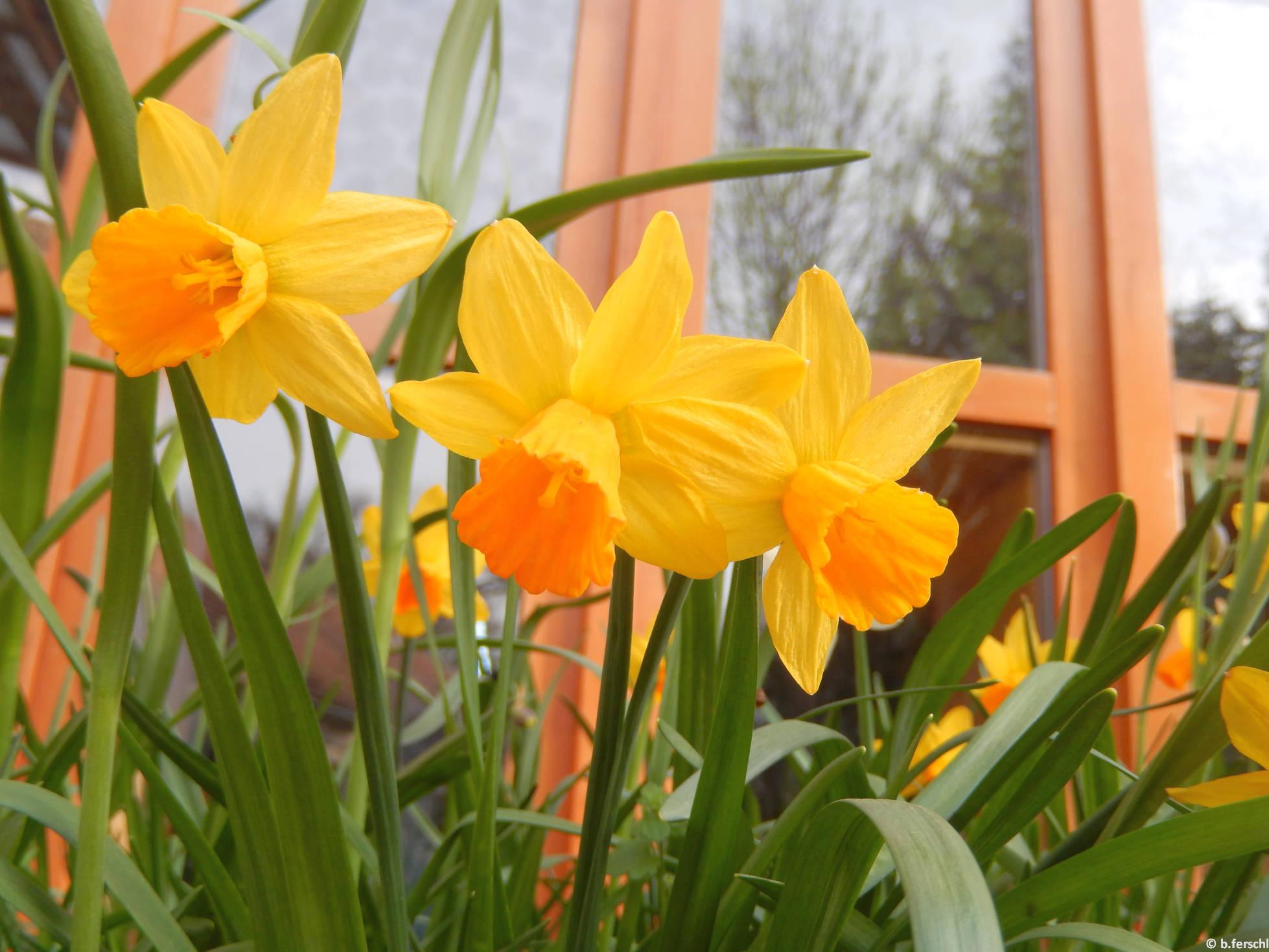 Bókoló nárcisz a Berkenyeház előtt (Narcissus cyclamineus 'Jack Snipe'