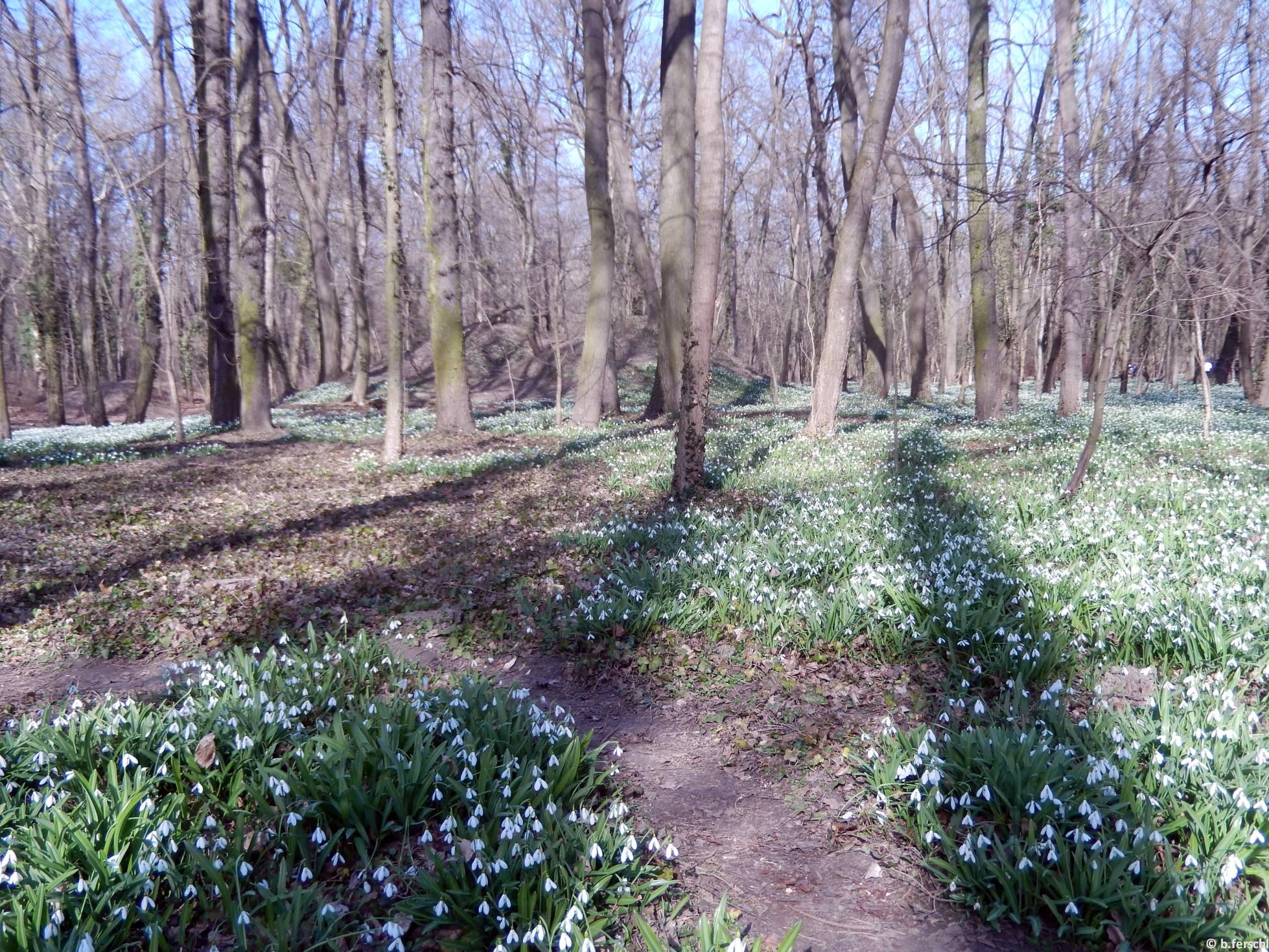 Hóvirágok (Galanthus sp.)