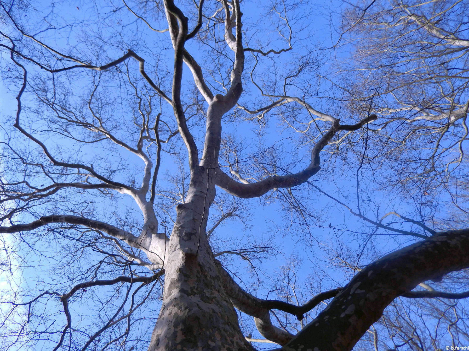 Ősöreg platánfa (Platanus sp.)