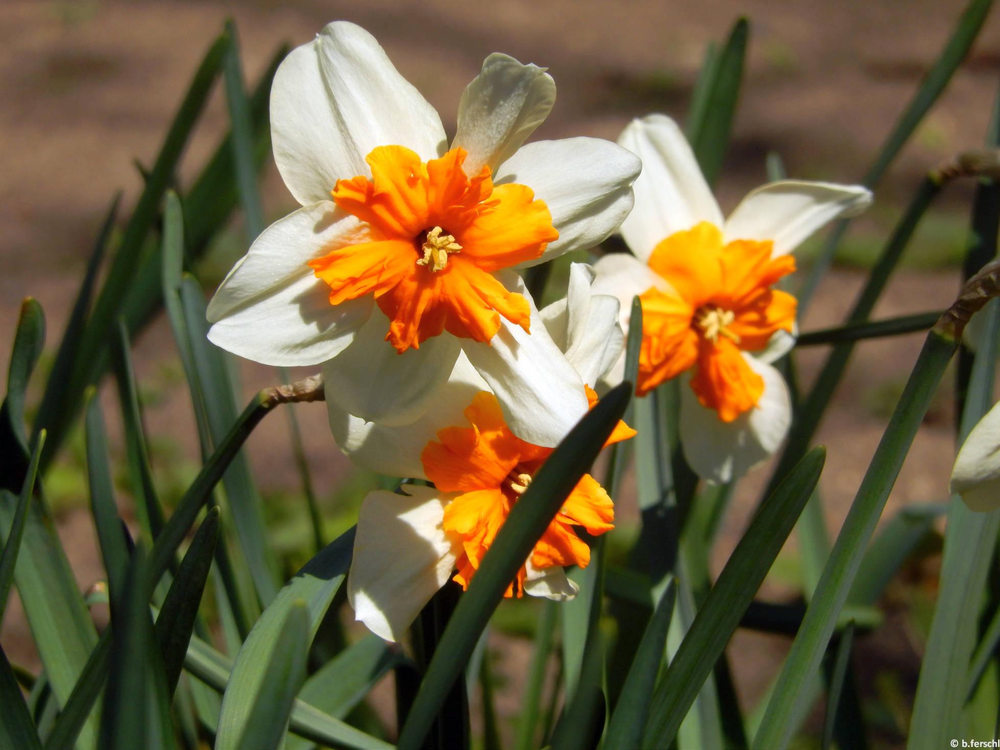 Hasadt koronájú nárciszok (Narcissus 'Orangery'