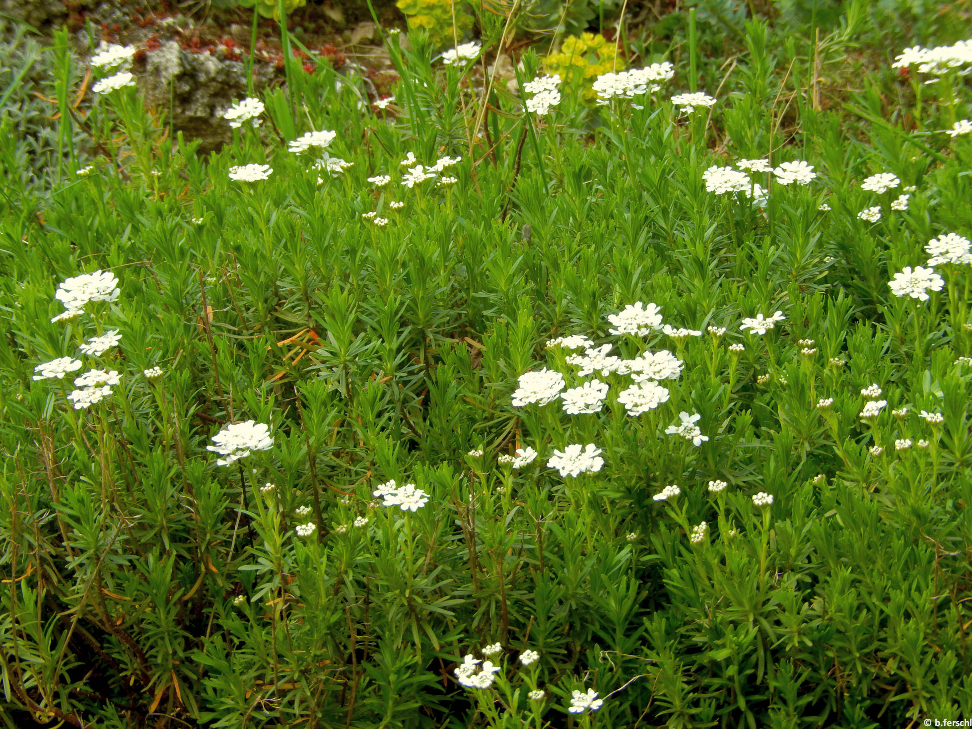 Örökzöld tatárvirág (Iberis sempervirens)