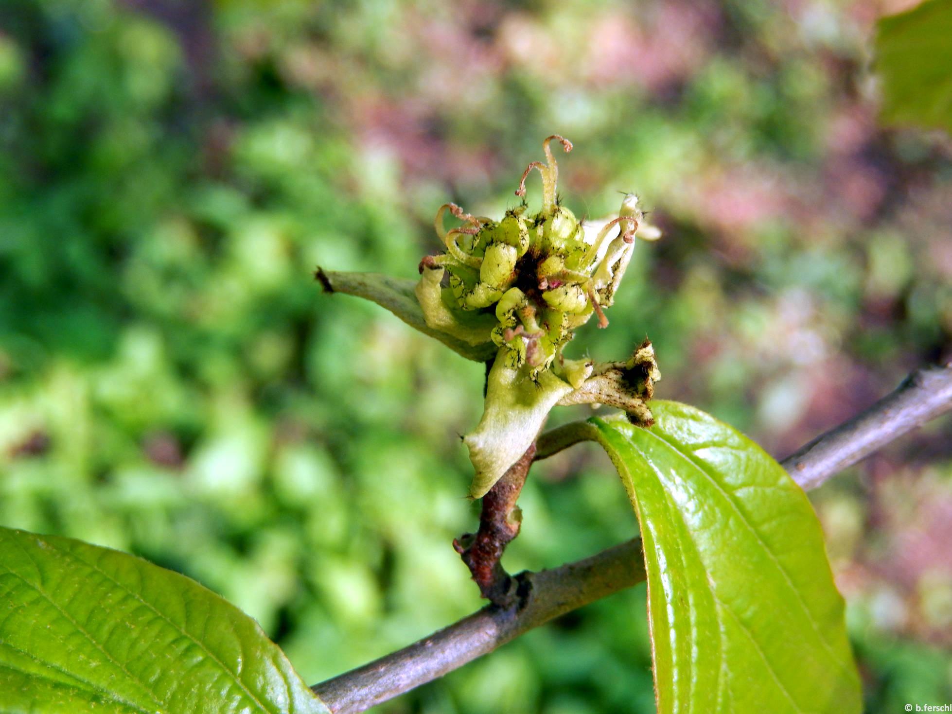Perzsa varázsfa terméskezdeményei (Parrotia persica)