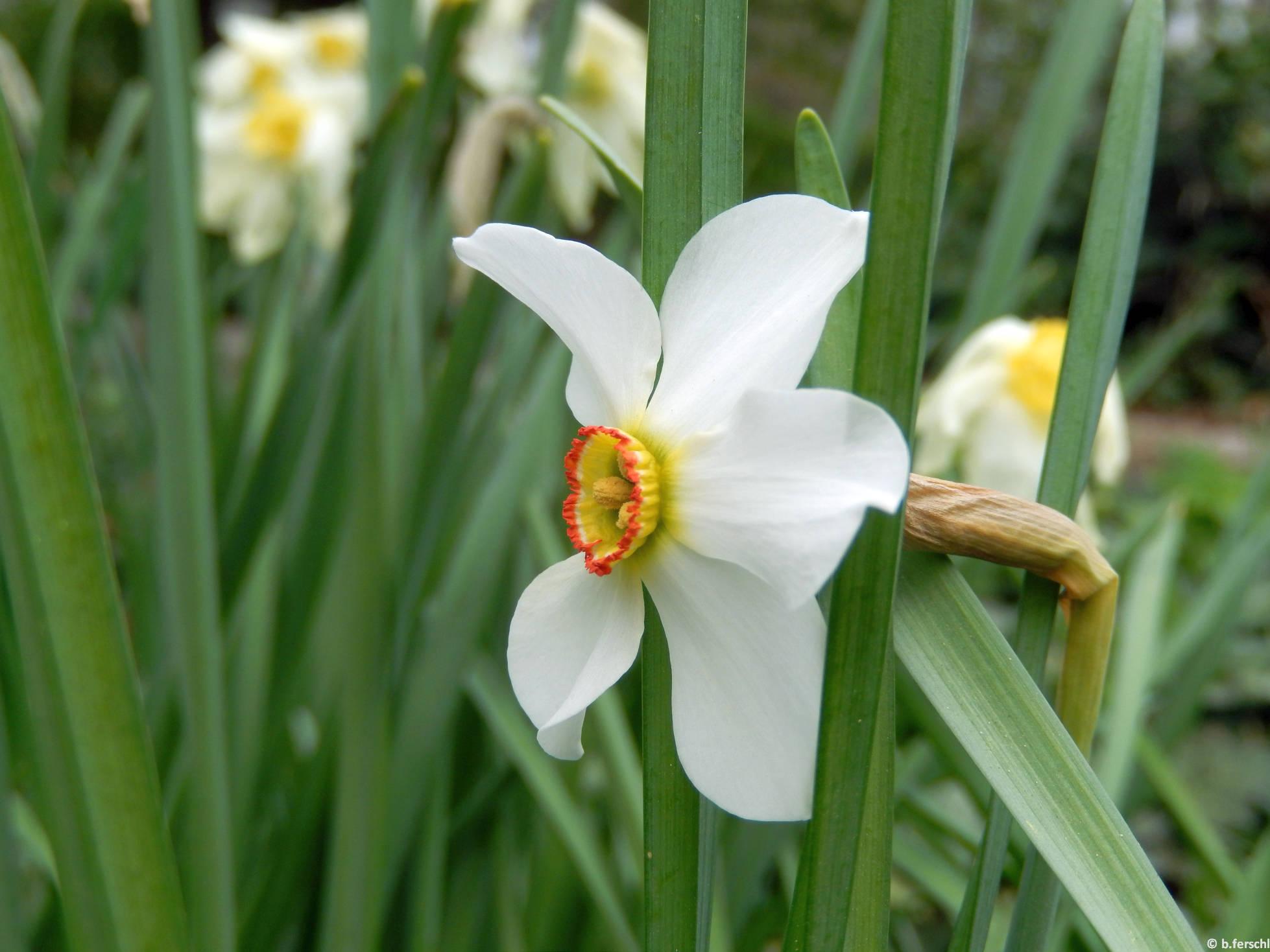 Fehér nárcisz (Narcissus poeticus)