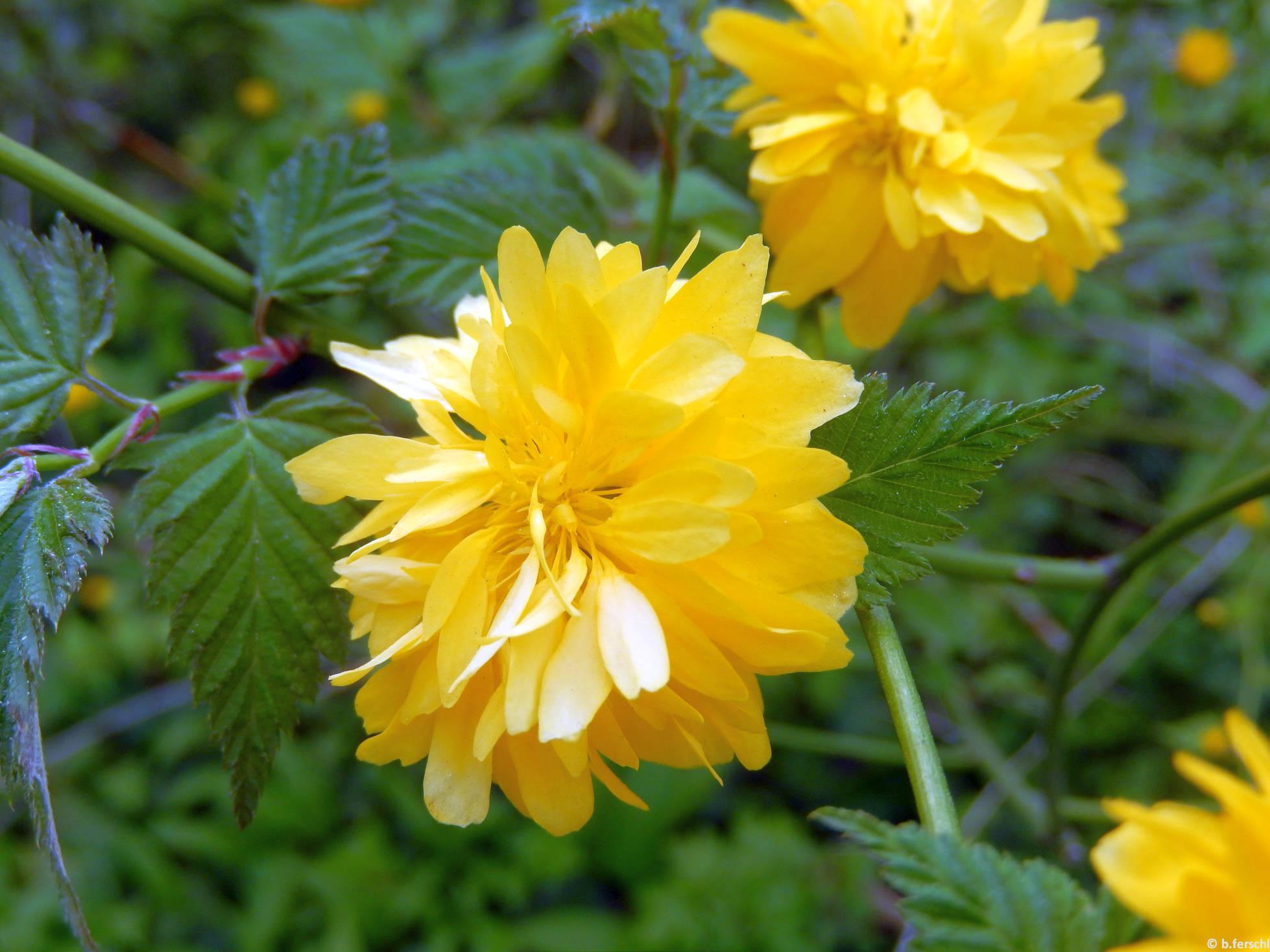 Telt virágú boglárkacserje (Kerria japonica)