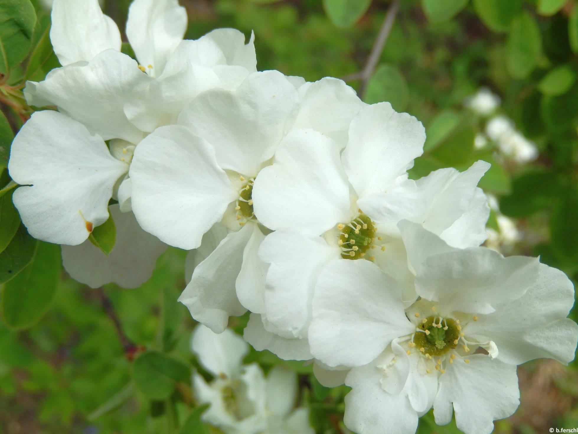 Gyöngycserje (Exochorda sp.)