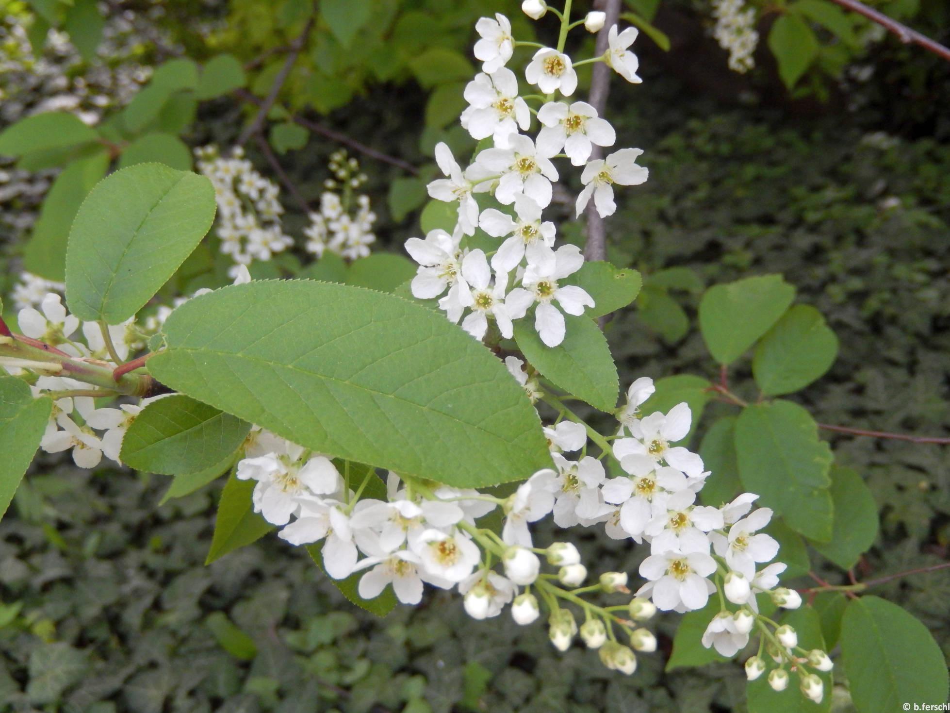 Májusfa (Prunus padus)