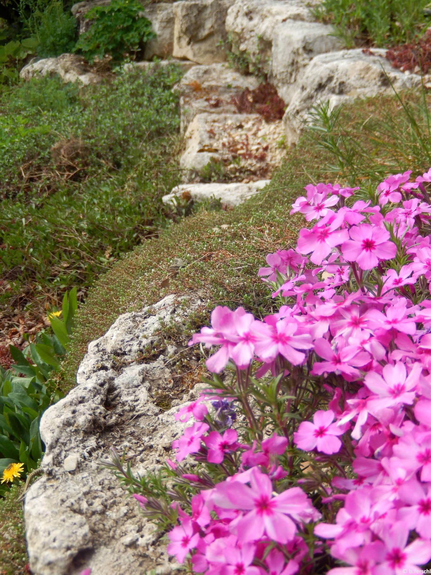 Árlevelű lángvirág (Phlox subulata) az alsó sziklakertben