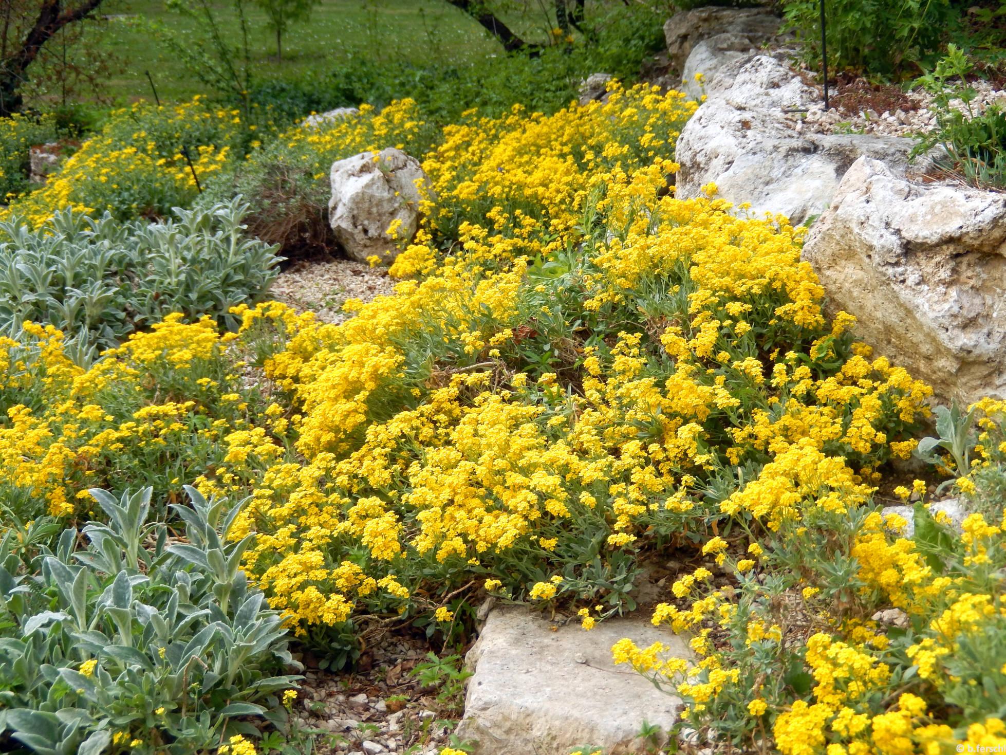 Sziklai ternye (Aurinia saxatilis) az alsó sziklakerben